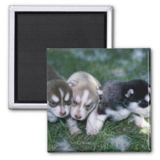 Siberian Husky pups, 3 weeks Fridge Magnets