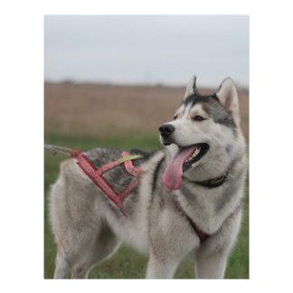 Siberian Husky sled dog Flyer