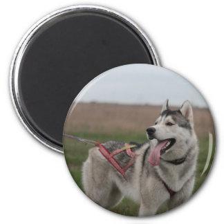 Siberian Husky sled dog 2 Inch Round Magnet