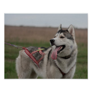 Siberian Husky sled dog Poster
