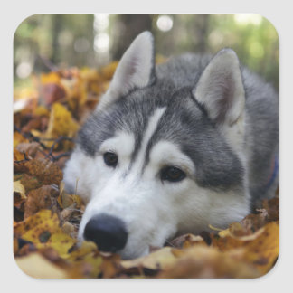 Siberian Husky Square Sticker