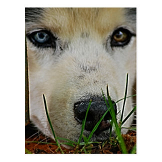 Siberian Husky waiting patiently Postcard