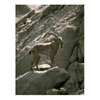 Siberian ibex postcard