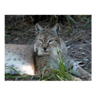 siberian lynx 017 postcard