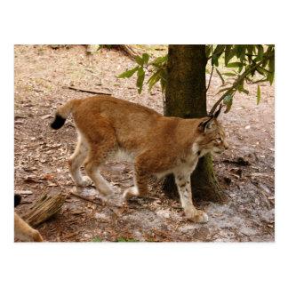 siberian lynx 031 postcard