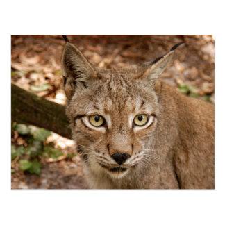 siberian lynx 032 postcard