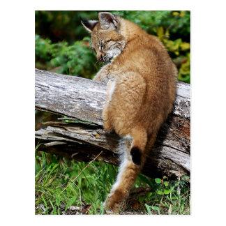 Siberian Lynx Kitten - It's so High!!!! Postcard