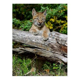 Siberian Lynx Kitten Postcard