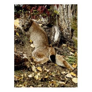 Siberian Lynx Lounging Postcard