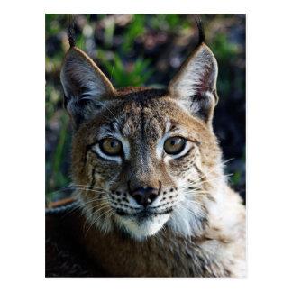 Siberian Lynx Postcard