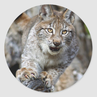 Siberian Lynx - Ready to Pounce Classic Round Sticker