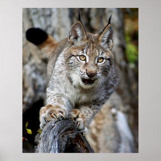 Siberian Lynx - Ready to Pounce Print