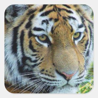 Siberian Tiger, Amur Tiger Sticker