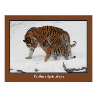 Siberian Tiger and Cub Posters