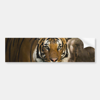 Siberian Tiger Bumper Sticker