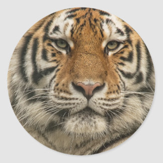 Siberian Tiger Classic Round Sticker