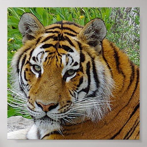 Siberian Tiger Closeup Photo of Face Poster   Zazzle