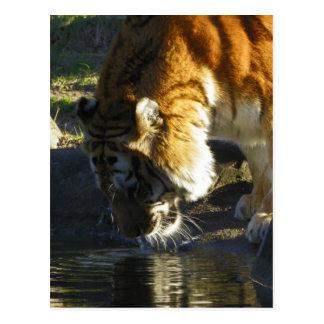 Siberian Tiger Drinking Post Card