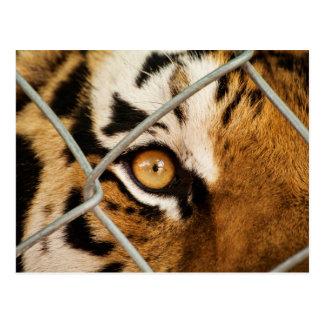 Siberian Tiger Eye - Postcard Postcards