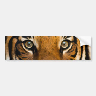 Siberian Tiger Eyes Bumper Sticker