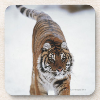 Siberian Tiger In Snow Coaster