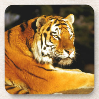 Siberian Tiger in the evening Beverage Coaster