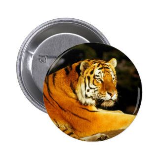 Siberian Tiger in the evening Pin