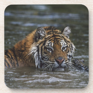 Siberian Tiger In Water Beverage Coaster