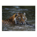 Siberian Tiger In Water Postcard