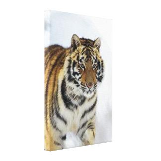 Siberian Tiger Lovers Art Canvas Print