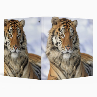 Siberian Tiger, Panthera tigris altaica, Asia 3 Ring Binders
