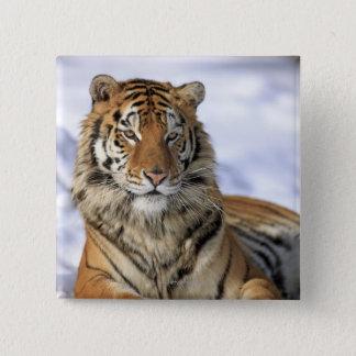 Siberian Tiger, Panthera tigris altaica, Asia, Button