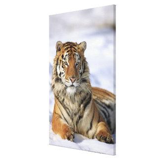 Siberian Tiger, Panthera tigris altaica, Asia, Canvas Print