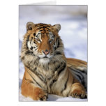 Siberian Tiger, Panthera tigris altaica, Asia, Greeting Card