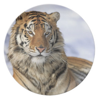 Siberian Tiger, Panthera tigris altaica, Asia Dinner Plate