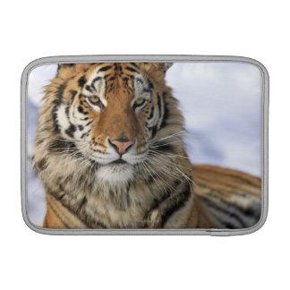 Siberian Tiger, Panthera tigris altaica, Asia MacBook Sleeve