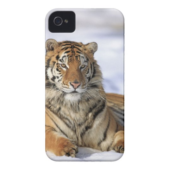 Siberian Tiger, Panthera tigris altaica, Asia, iPhone 4 Cover