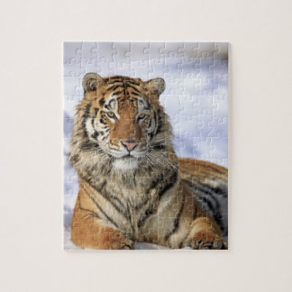 Siberian Tiger, Panthera tigris altaica, Asia Jigsaw Puzzle