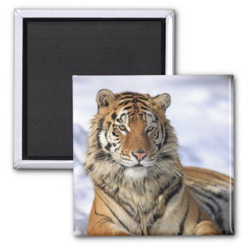 Siberian Tiger, Panthera tigris altaica, Asia, 2 Inch Square Magnet