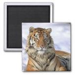 Siberian Tiger, Panthera tigris altaica, Asia 2 Inch Square Magnet
