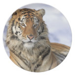 Siberian Tiger, Panthera tigris altaica, Asia, Melamine Plate