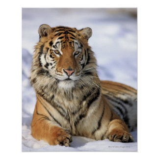 Siberian Tiger, Panthera tigris altaica, Asia, Poster