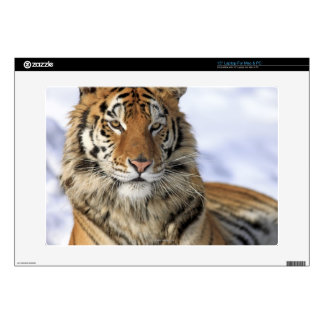 Siberian Tiger, Panthera tigris altaica, Asia Skins For Laptops