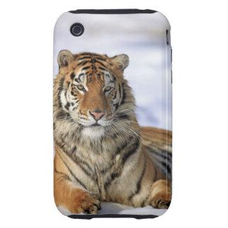 Siberian Tiger, Panthera tigris altaica, Asia Tough iPhone 3 Case