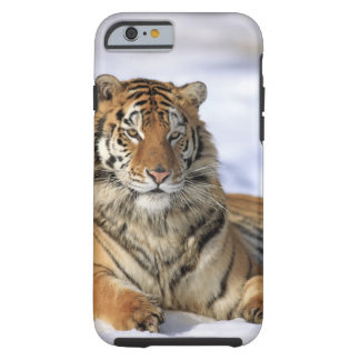 Siberian Tiger, Panthera tigris altaica, Asia, Tough iPhone 6 Case