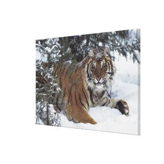 Siberian Tiger (Panthera Tigris Altaica) Canvas Print