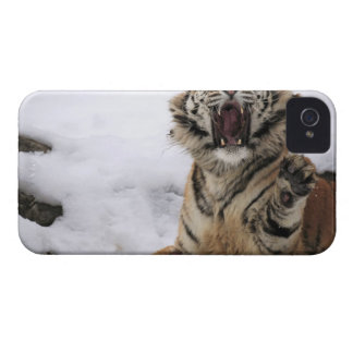 Siberian Tiger (Panthera tigris altaica) iPhone 4 Cover