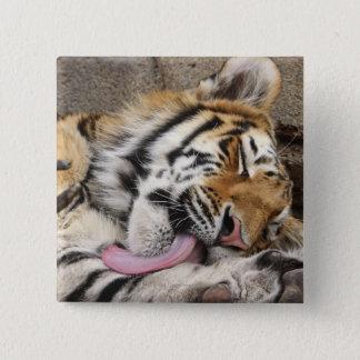 Siberian tiger Panthera tigris altaica licking Pinback Button