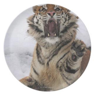 Siberian Tiger (Panthera tigris altaica) Dinner Plate