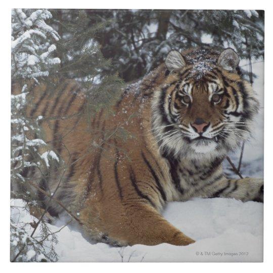 Siberian Tiger (Panthera Tigris Altaica) Tile